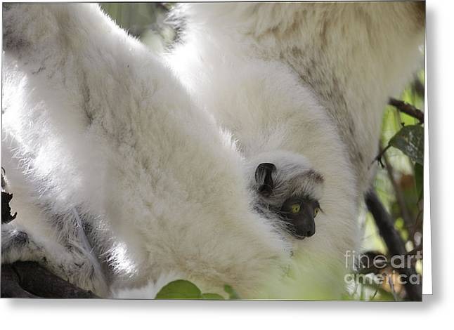 Wild Verreaux's Sifaka With Baby Greeting Card by Liz Leyden