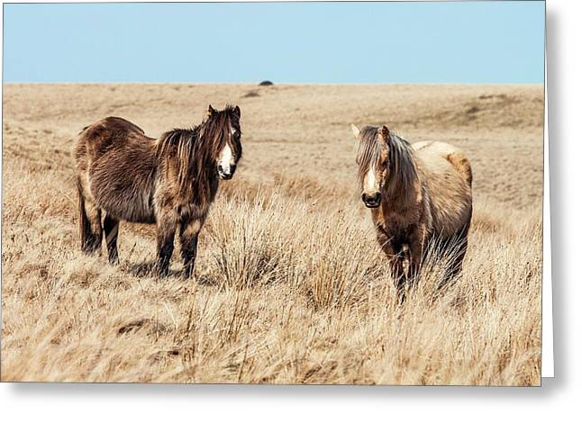 Wild Welsh Ponies Greeting Card