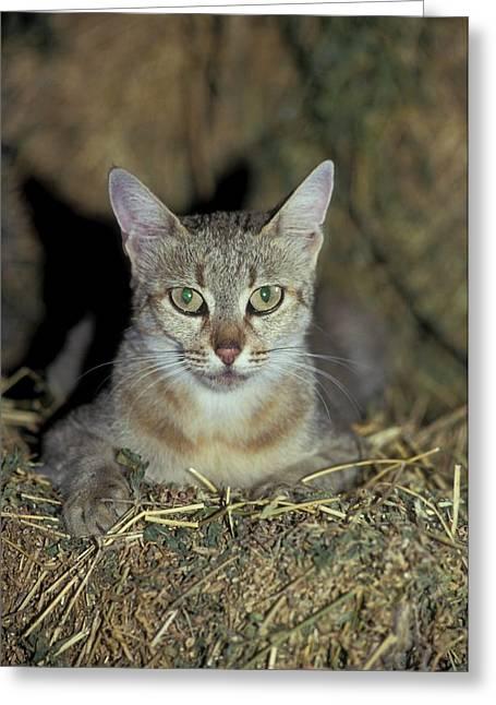 Wildcat (felis Silvestris) Greeting Card by Photostock-israel