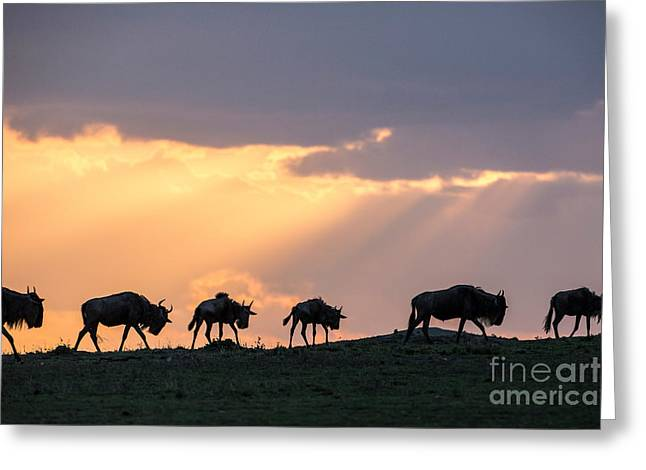 Wildebeest Migrating In Single File Greeting Card by Greg Dimijian