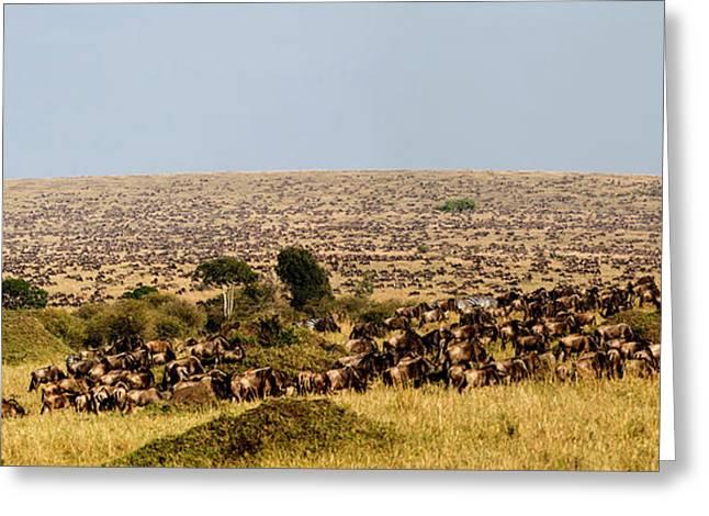 Wildebeest Migration, Masaai Mara, Kenya Greeting Card by Greg Dimijian