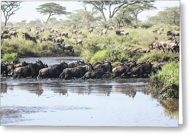 Wildebeest Migration Greeting Card by Photostock-israel