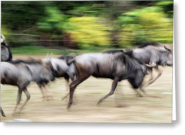 Wildebeest Running Greeting Card by Pan Xunbin