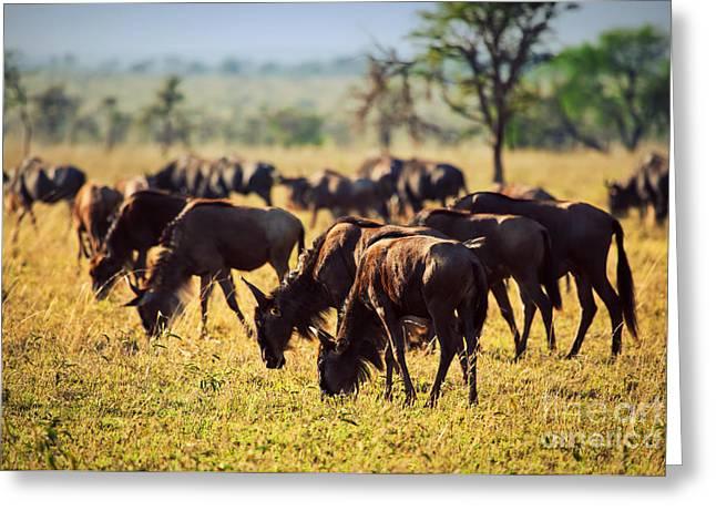 Wildebeests Herd. Gnu On African Savanna Greeting Card by Michal Bednarek