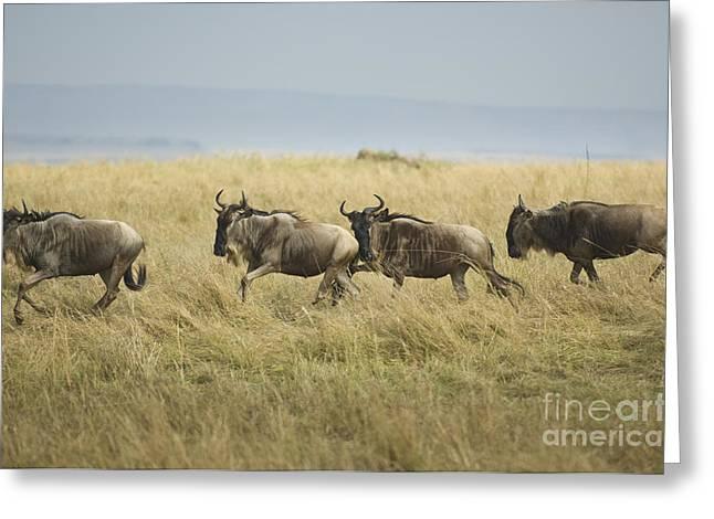 Wildebeests Running In The Maasai Mara Greeting Card by John Shaw