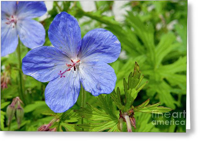 Greeting Card featuring the photograph Wildflower by Rod Wiens