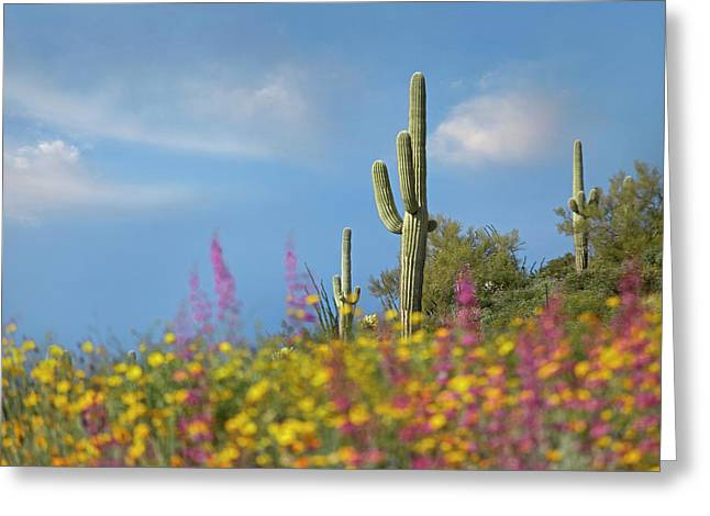 Wildflowers And Saguaros At Gonzales Greeting Card
