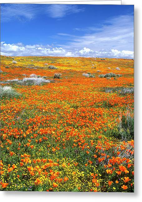 Wildflowers At The California Poppy Greeting Card by John Alves