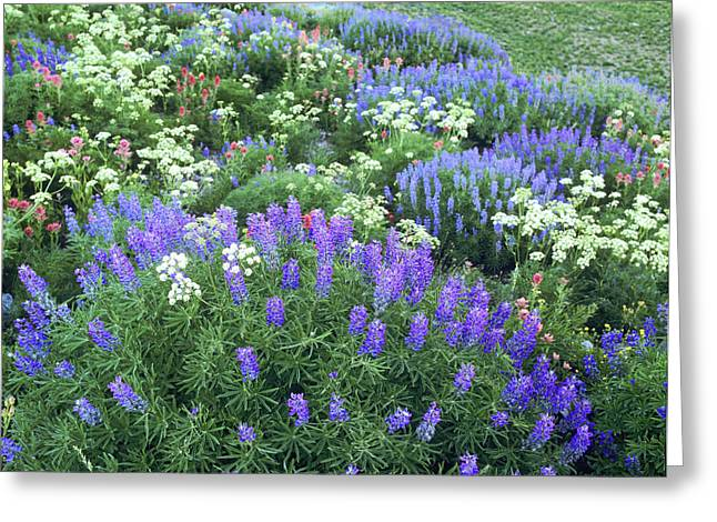 Wildflowers, Blue-pod Lupine, Lupinus Greeting Card