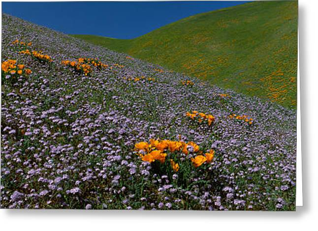 Wildflowers On A Hillside, California Greeting Card by Panoramic Images