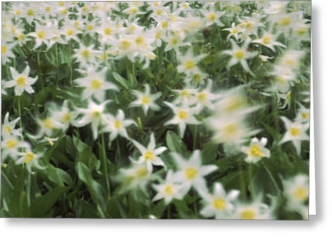 Wildflowers On Mountains, Mt Rainier Greeting Card by Panoramic Images