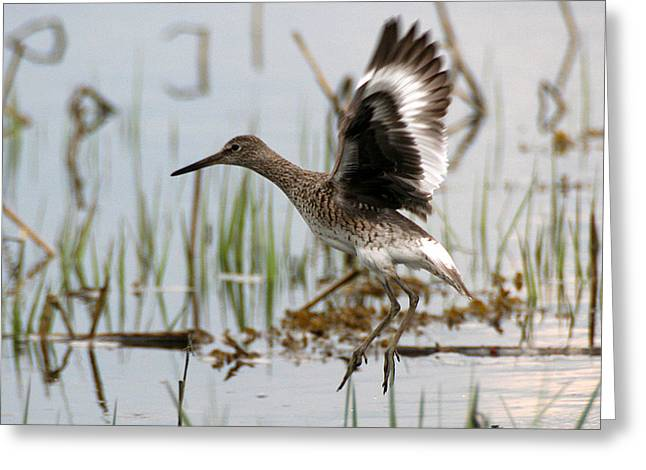 Willet Taking Flight Greeting Card