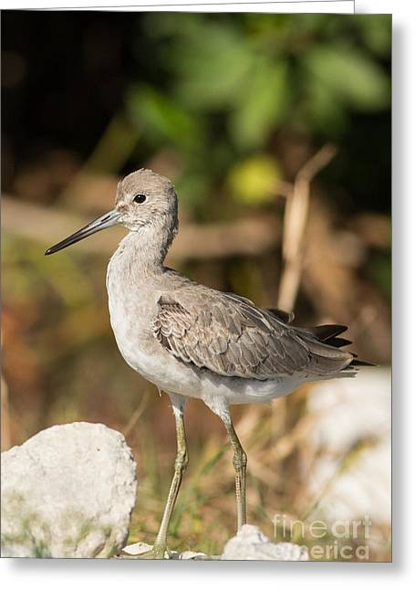 Willet Walking Near The Water Greeting Card