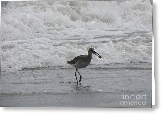 Willet With A Catch Greeting Card by Gayle Melges