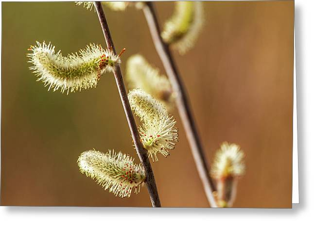 Willow Buds Begin To Sprout As The Air Greeting Card by Zachary Sheldon