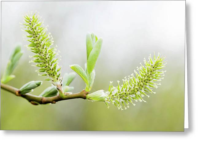 Willow Catkins (salix Sp.) Greeting Card by Gustoimages/science Photo Library