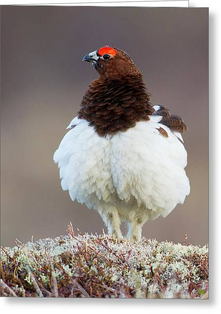 Willow Ptarmigan (male Greeting Card