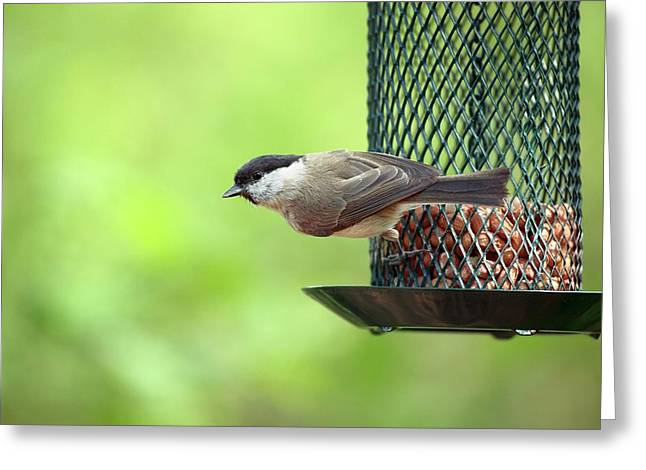 Willow Tit On A Bird Feeder Greeting Card