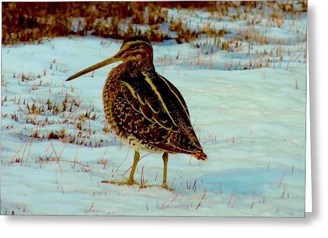 Wilson's Snipe 1 Greeting Card by Stephanie Kendall