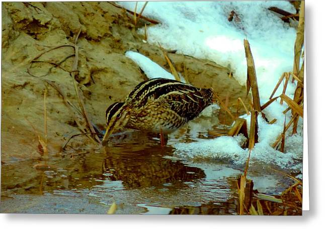 Wilson's Snipe 2 Greeting Card by Stephanie Kendall