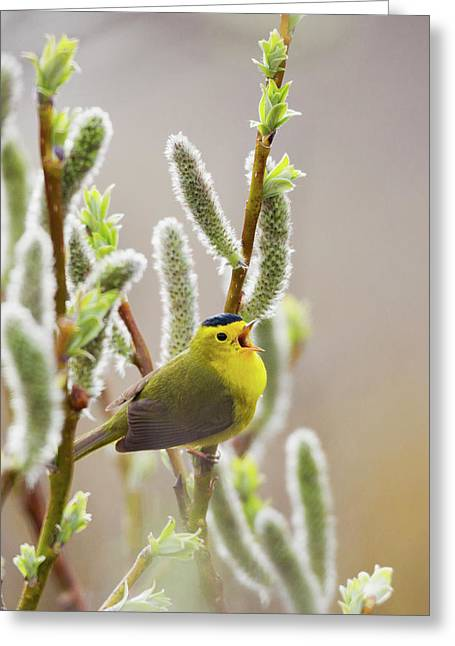 Wilson's Warbler Singing Greeting Card