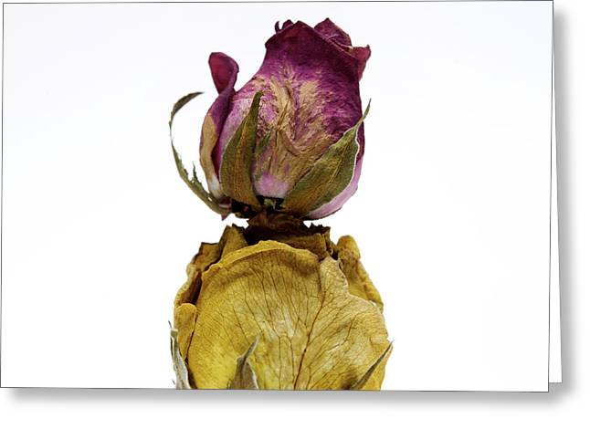 Wilted Rose Greeting Card by Bernard Jaubert