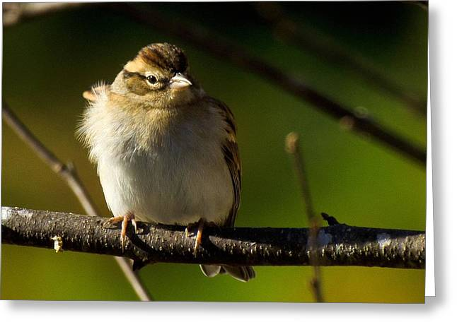 Wind Blown Sparrow Greeting Card