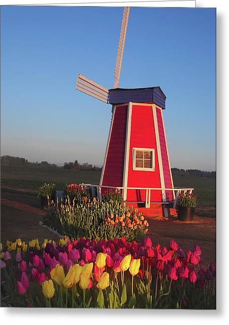 Wind Mill At The Tulip Festival Greeting Card
