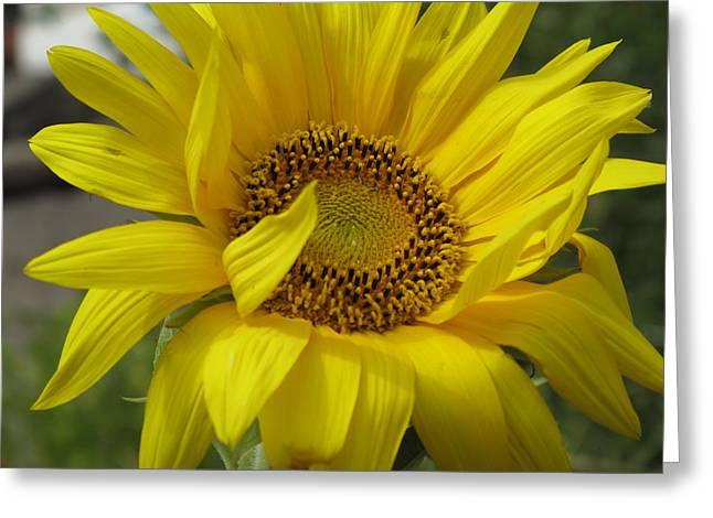 Windblown Sunflower Three Greeting Card by Barbara McDevitt