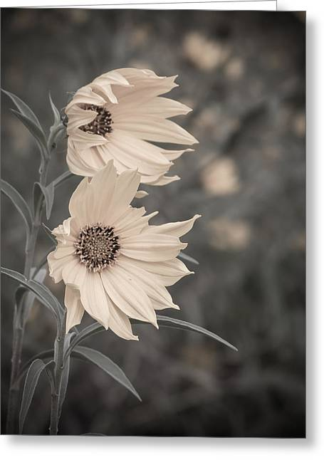 Windblown Wild Sunflowers Greeting Card