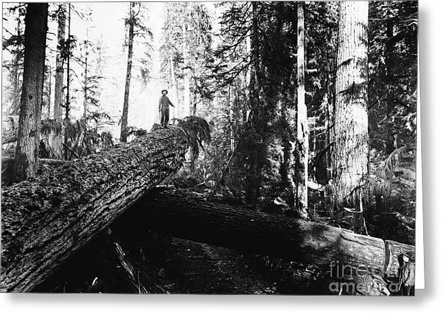 Windfall For Loggers 1908 Greeting Card
