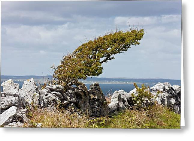 Windswept Hawthorn (crataegus Monogyna) Greeting Card by Bob Gibbons