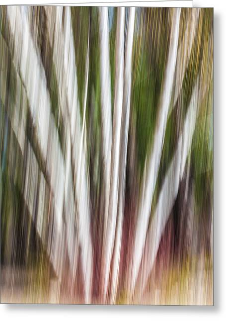 Windy Birch Greeting Card by Aaron Aldrich