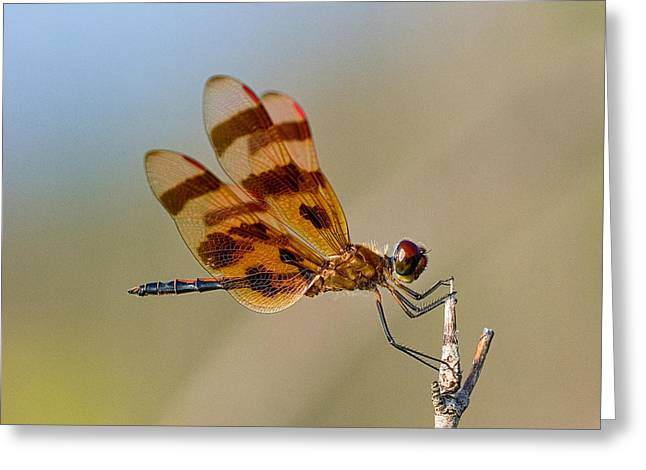 Windy Day Dragonfly Greeting Card