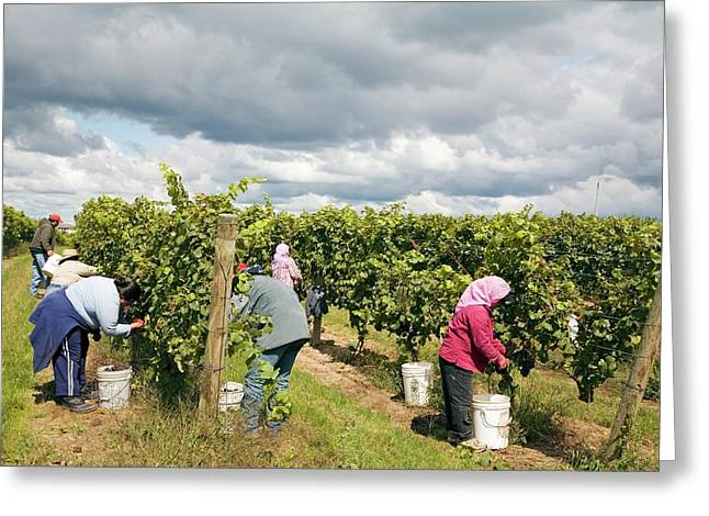 Wine Grape Harvest Greeting Card
