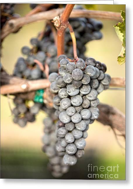 Wine Harvest  Greeting Card