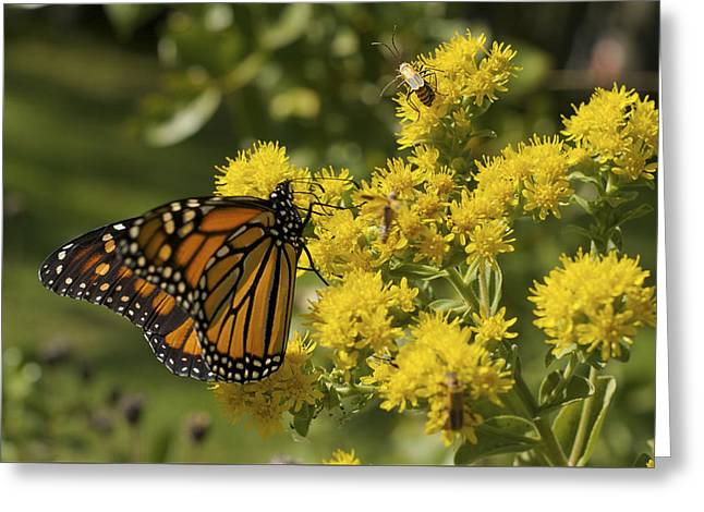 Wings - Monarch On Goldenrod Greeting Card by Jane Eleanor Nicholas