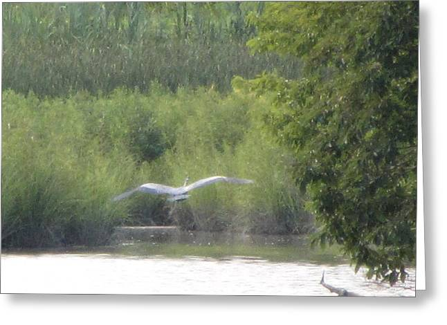 Wings Wide Open Great Blue Heron Mighty Sight Greeting Card by Debbie Nester