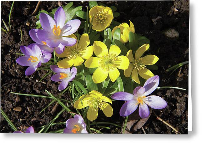 Winter Acconite And Crocus Flowers Greeting Card