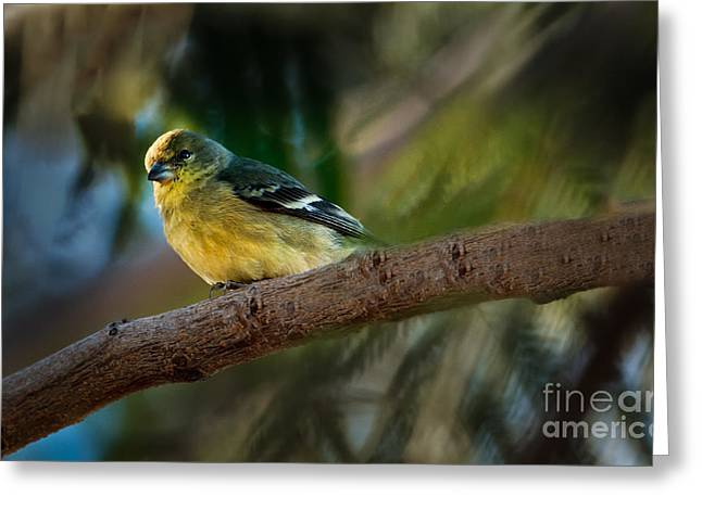 Winter American Goldfinch Greeting Card