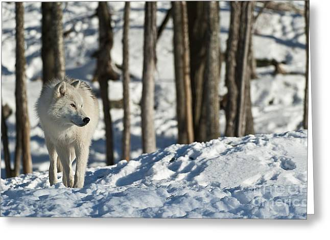 Greeting Card featuring the photograph Winter Arctic Wolf by Wolves Only
