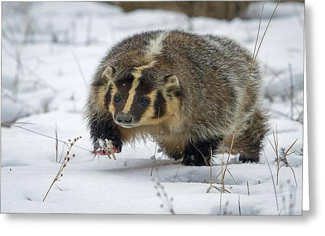 Greeting Card featuring the photograph Winter Badger by Jack Bell