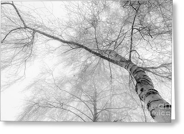 Winter Birch - Bw Greeting Card by Hannes Cmarits