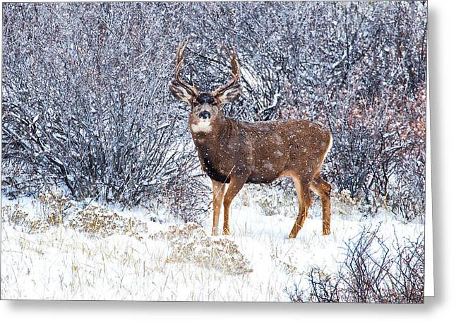 Winter Buck Greeting Card by Darren  White