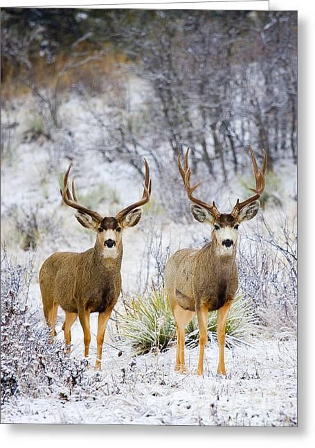 Winter Bucks Greeting Card