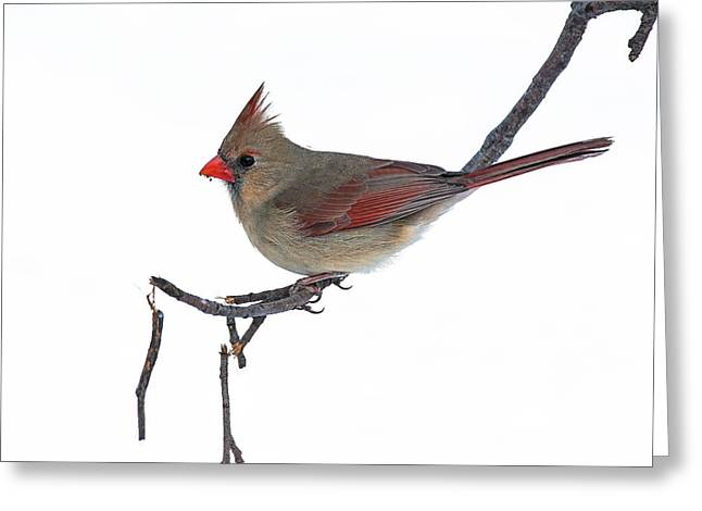 Winter Cardinal II Greeting Card