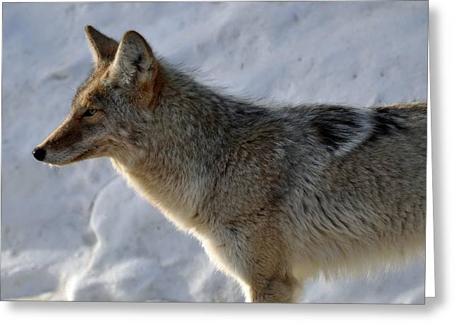 Winter Coyote In Yellowstone Greeting Card by Bruce Gourley