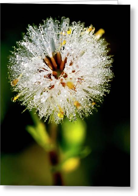 Greeting Card featuring the photograph Winter Dandelion by Pedro Cardona