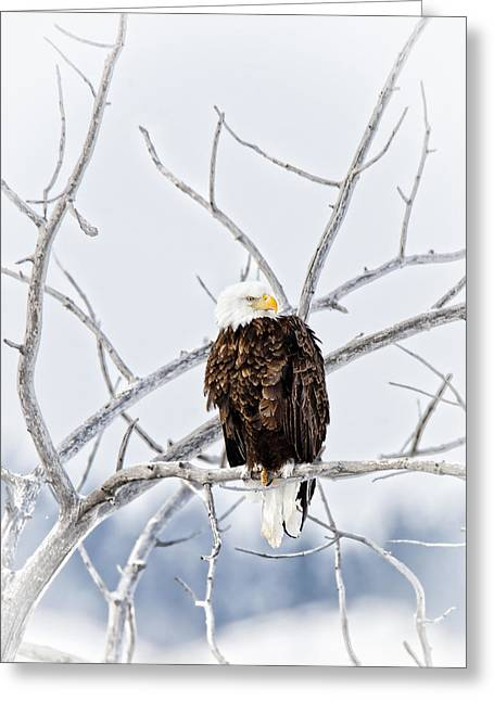 Winter Eagle Greeting Card by Jana Thompson