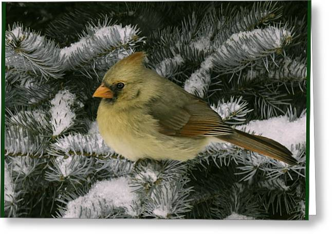 Winter Female Cardinal In Snow Covered Pine Greeting Card